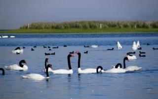 cisnes de cuello negro en la laguna