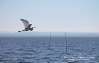 Garza blanca volando